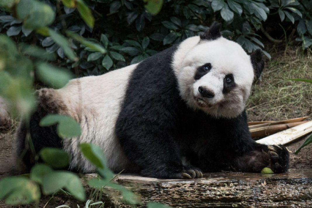 world's oldest giant panda