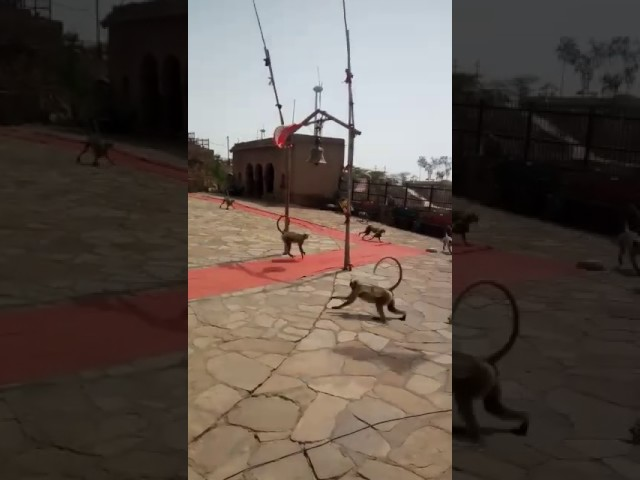 Video went viral of Monkeys ringing bell inside the temple