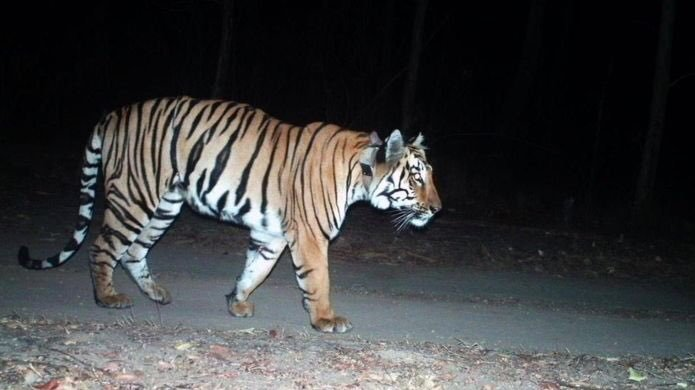 Indian Tiger undertakes record of 1,500 km journey, longest ever recorded movement of a tiger