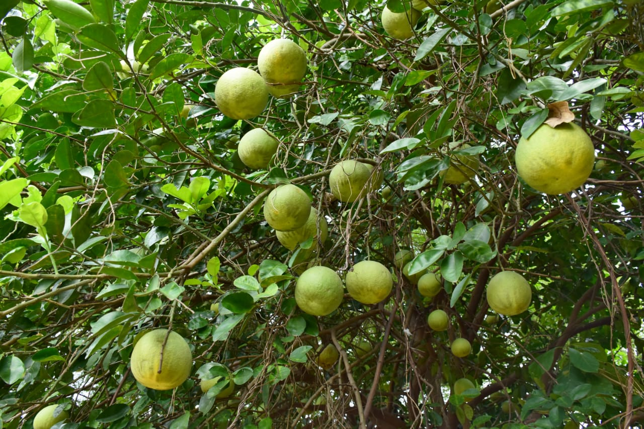 Farmer from Savli taluka reap benefits from Grapefruit tress grown in unused land