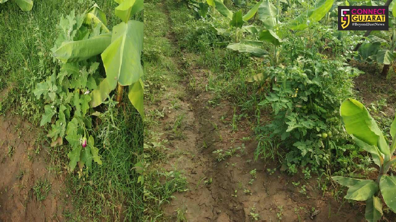 Savli farmer grow many crops in one farm with cow based farming