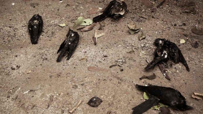 Samples from Vasantpura village in Savli tested positive of bird flu