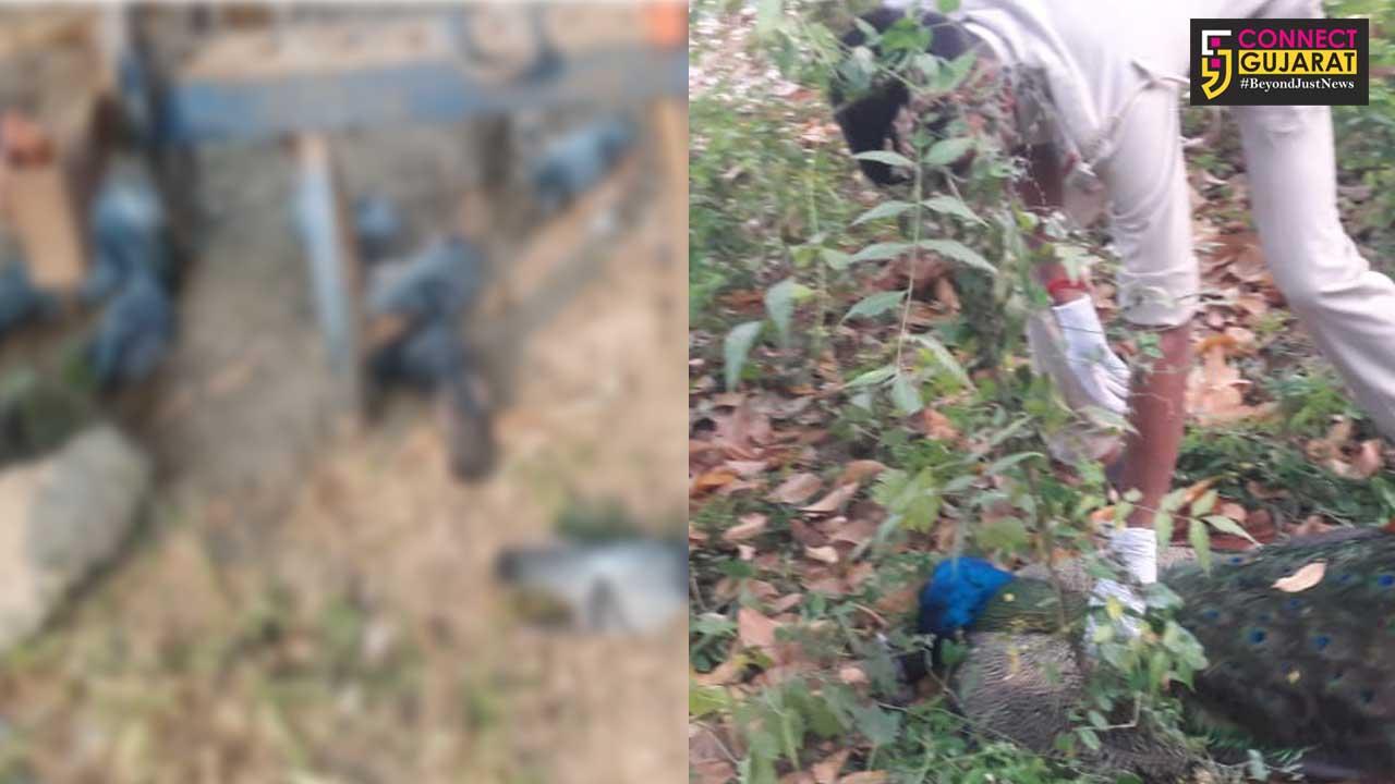 Reports of Kia, Atali, Reliance Township and Sindhrot bird deaths reported bird flu negative