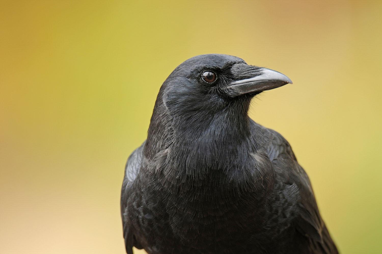 30 crows died instantly in Vasantpura of Savli taluka
