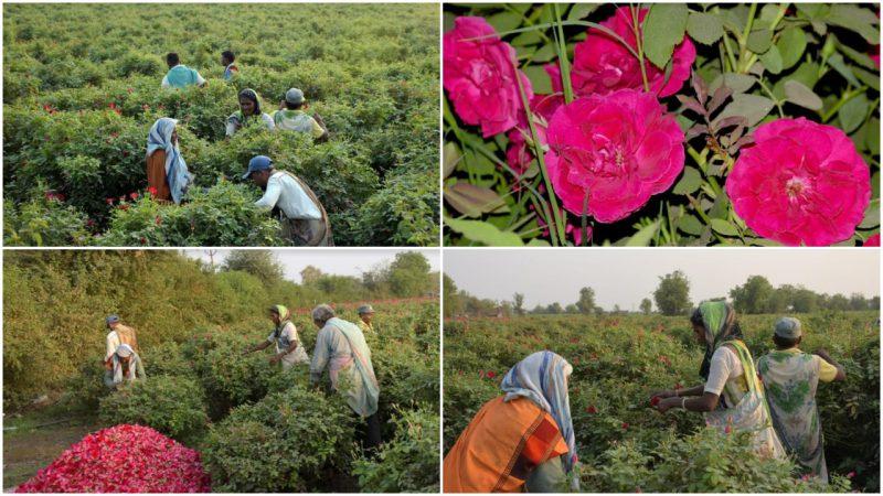 Sayar village in Vadodara district known for Kashmiri and native roses