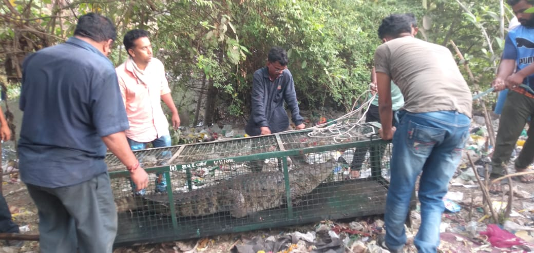 GSPCA and Social Forestry department team caught six foot crocodile from Karelibaug Tulsiwadi area in Vadodara